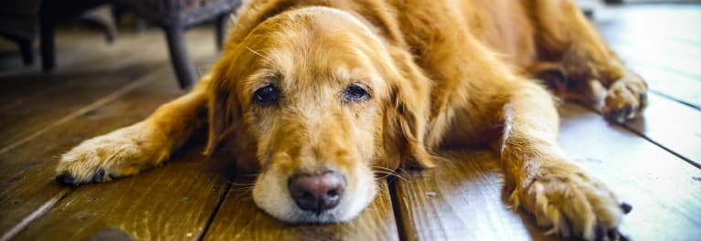 A dog lying on a floor.