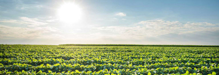 A field of soy. Soy is an ingredient that would be affected by mandatory GMO labeling laws.