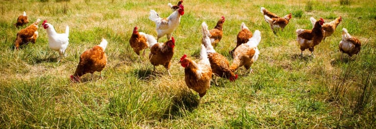 Chickens in a field. Chickens can be raised with no antibiotics.