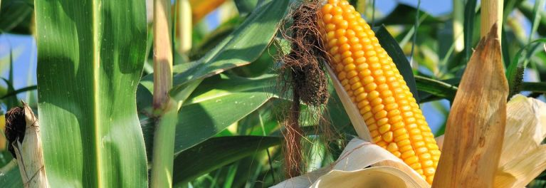 An ear of corn in a corn field. Corn is a GMO food that would be identified on food packaging if the DARK Act does not pass.