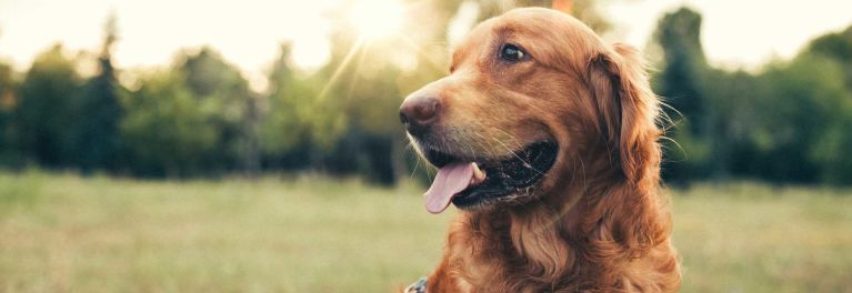 Photo of a dog outside in a field for article about the cost of pet insurance
