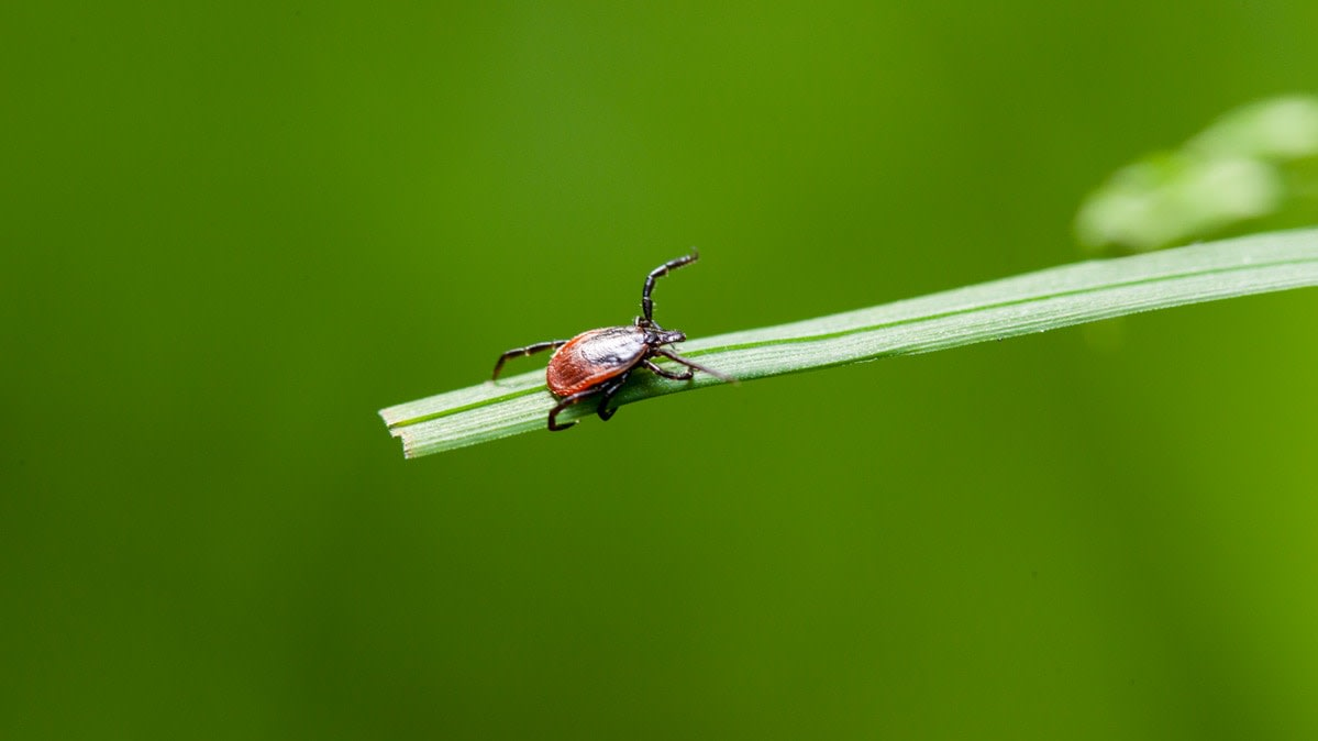 A tick resting on a blade of grass.