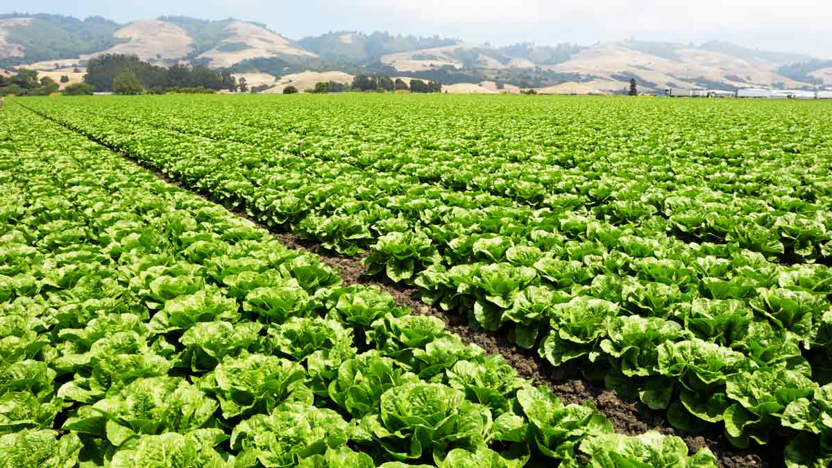 New labels will help indicate whether it is safe to eat romaine lettuce yet. Pictured: romaine growing field