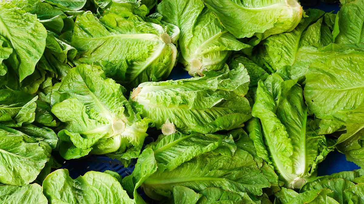 Grower Steps to Keep Romaine Safe May Not be Enough