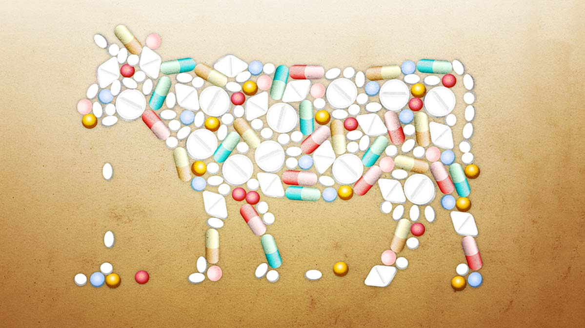 An illustration of antibiotics in the shape of a cow.