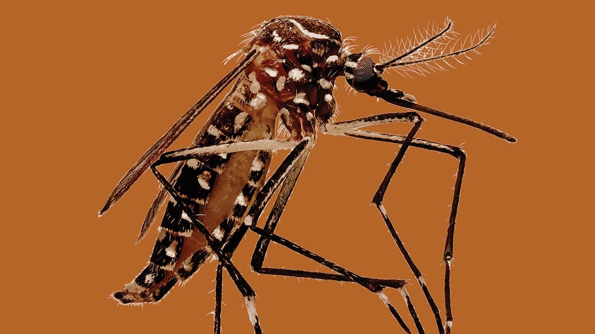 A close-up photo of a mosquito.