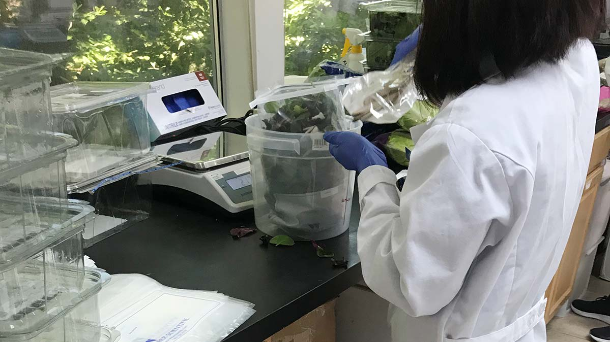 Testing for listeria in leafy greens at the lab