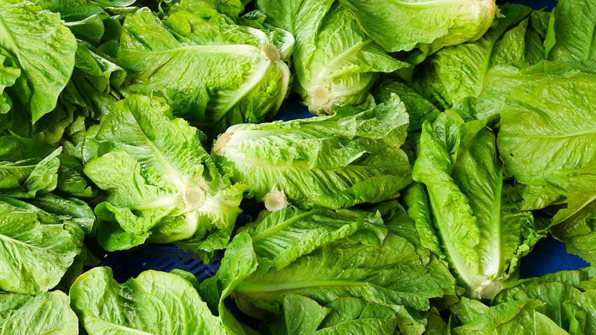 Picture of romaine lettuce, which was linked to multiple outbreaks of food-borne illness caused by E.coli.