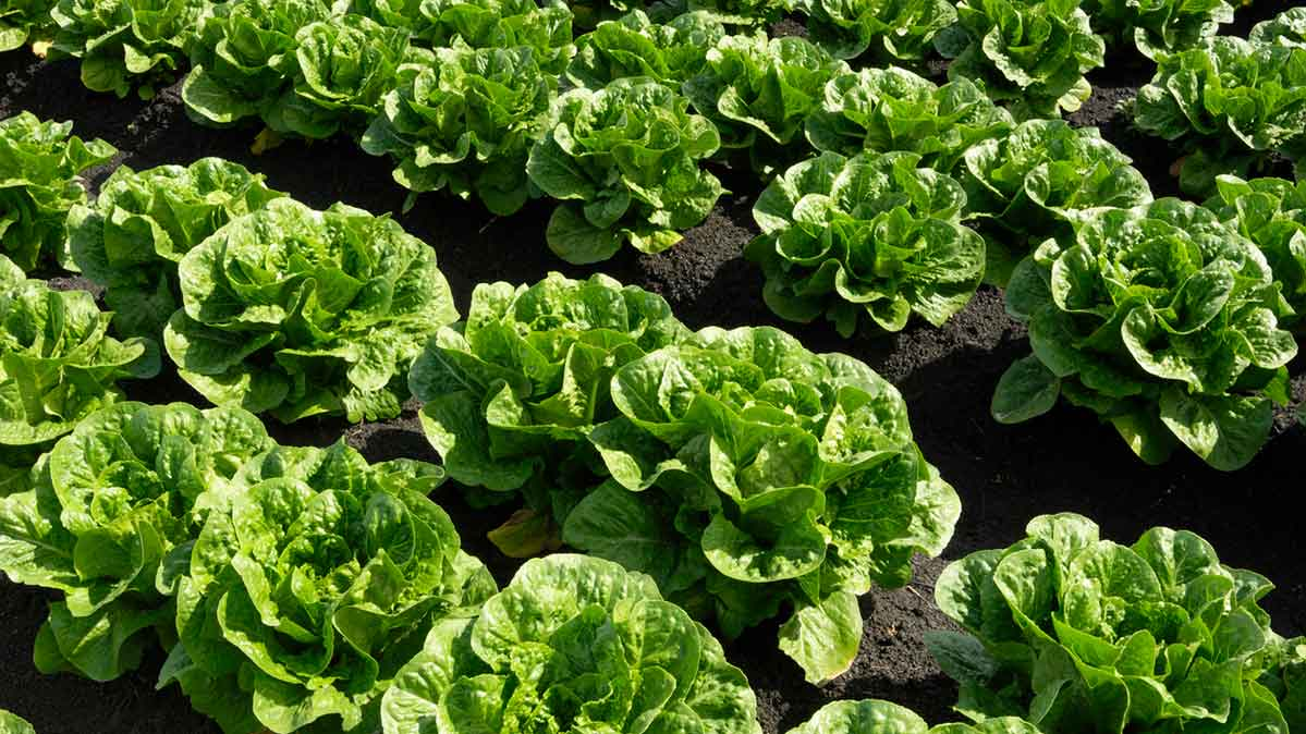 Cattle Farms Most Likely Contributor to 2019 E. Coli Romaine Outbreaks, FDA Finds