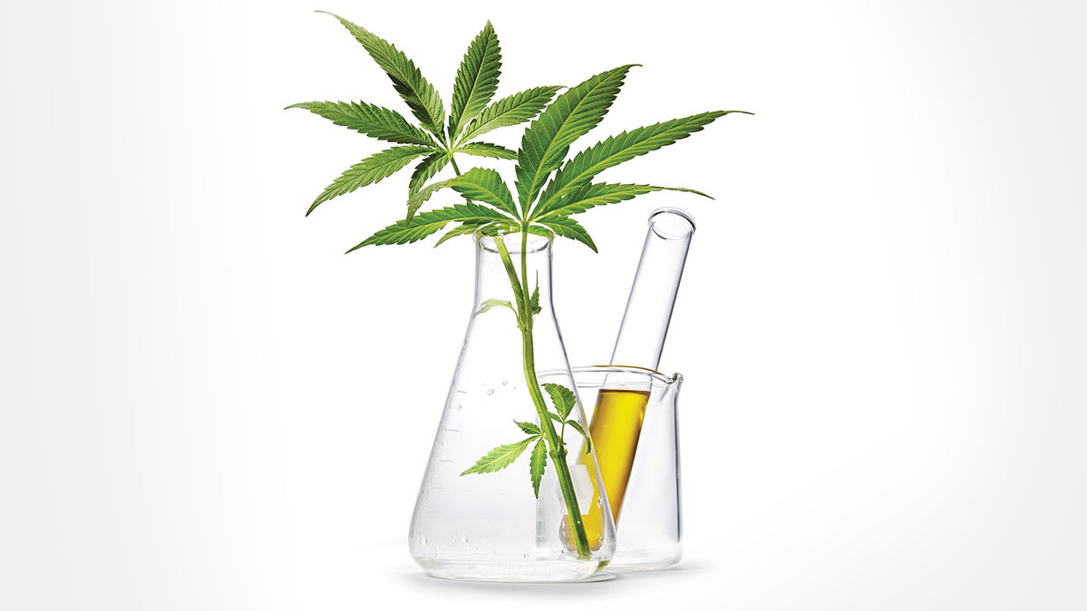 Cannabis leaves placed in glass laboratory equipment.