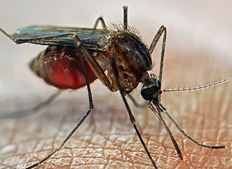 A close-up image of mosquito on skin.