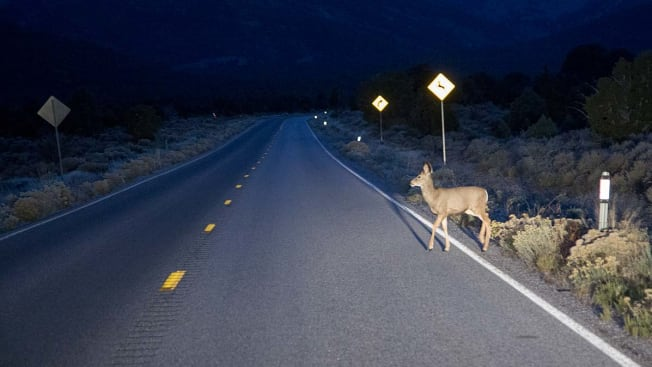 A deer crossing the road in front of a car with an animal crossing sign behind it.
