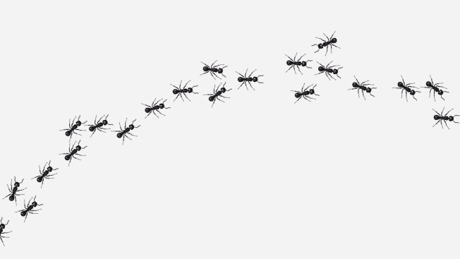 trail of black ants on white background