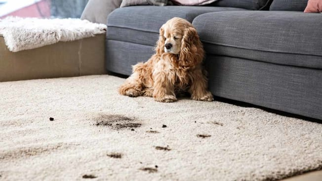 A dog sitting by couch with a trail of muddy paws