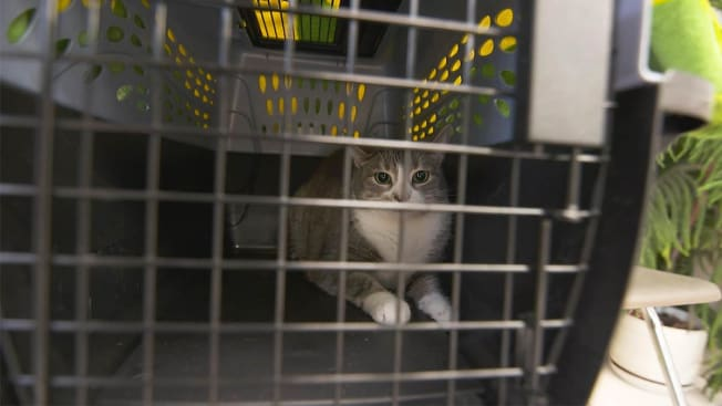 Journalist Tom Perkins' cat Ling-Ling on her way to have her blood drawn so she can be tested for PFAS.