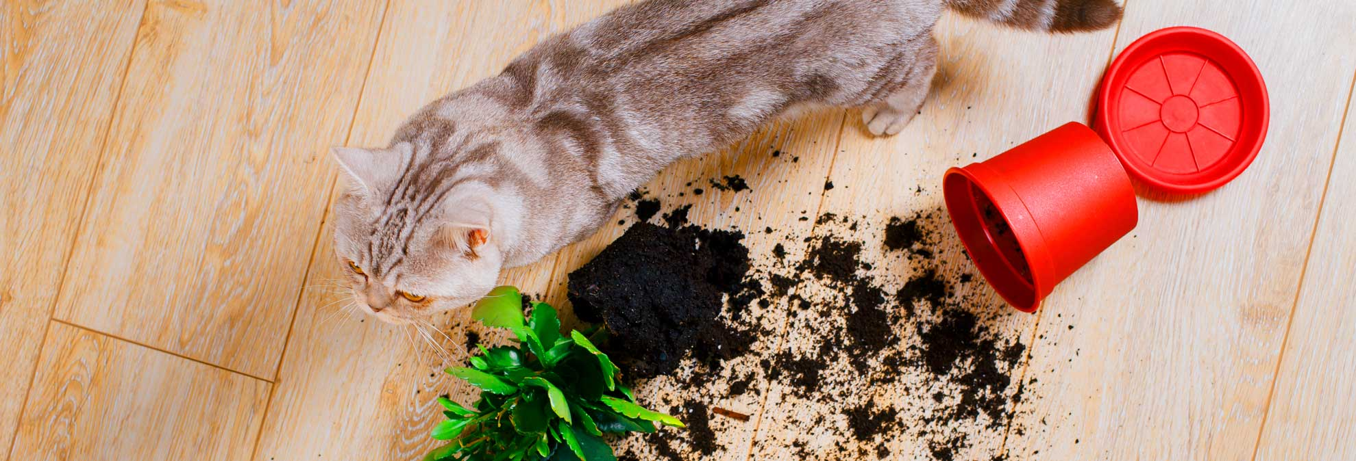 A cat knocking over a plant on hardwood floors