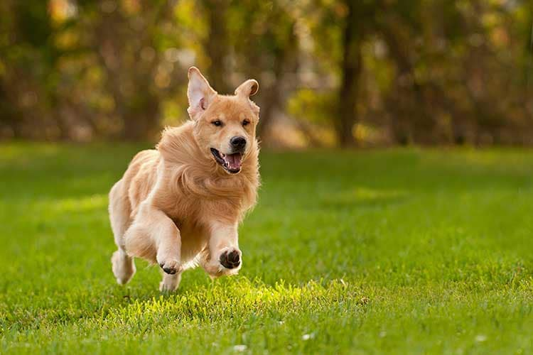 Sonny, a champion golden retriever, running in the yard.