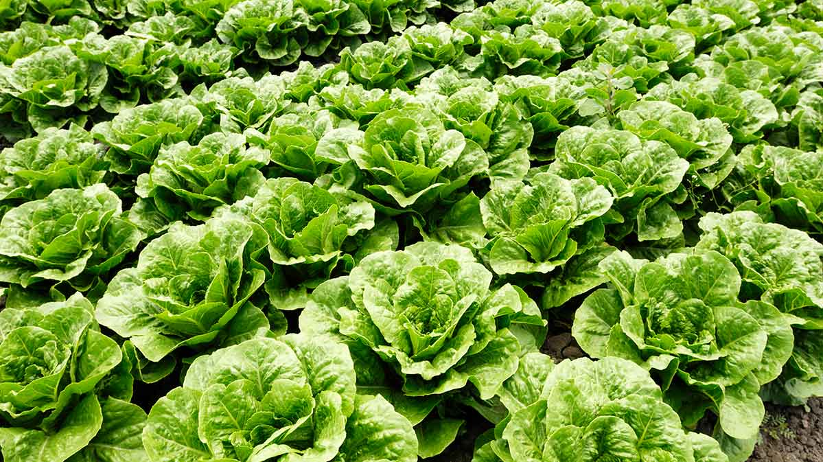 The current romaine-based E. coli outbreak is the deadliest in decades. Pictured: romaine lettuce