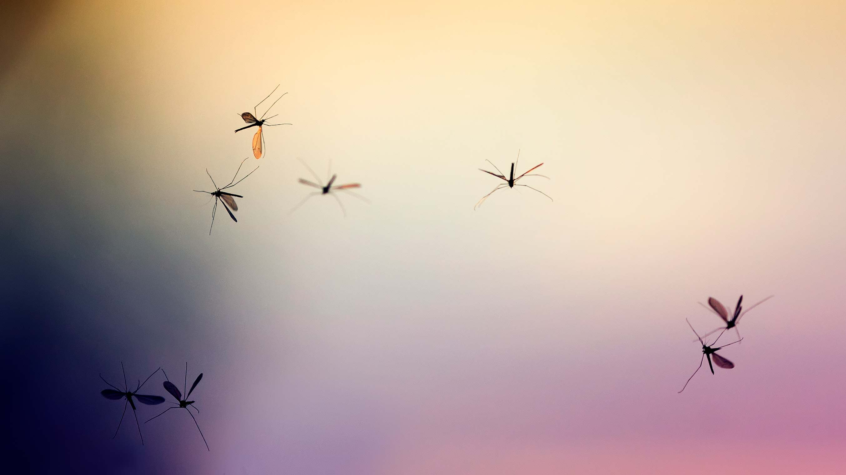 An image of several flying mosquitoes, potential vectors of West Nile virus.