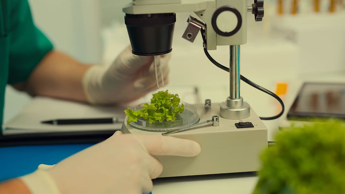 Tracking tainted greens from an E. coli outbreak can be tough. Pictured: Inspecting lettuce under a microscope.