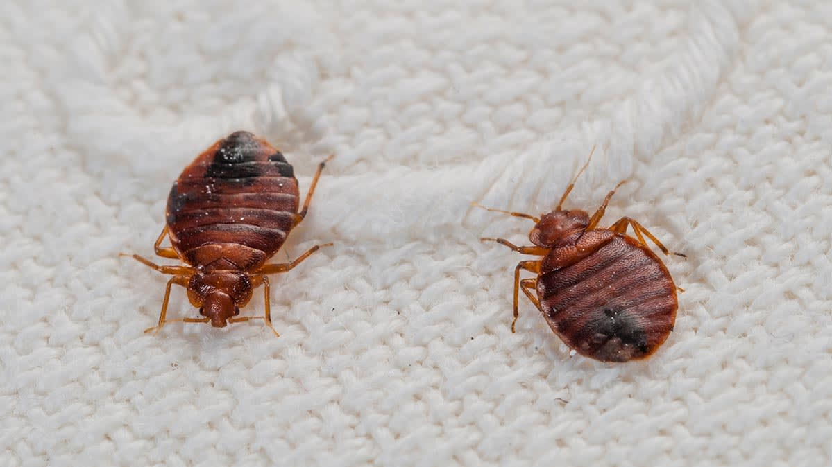 Two bed bugs on a bed.
