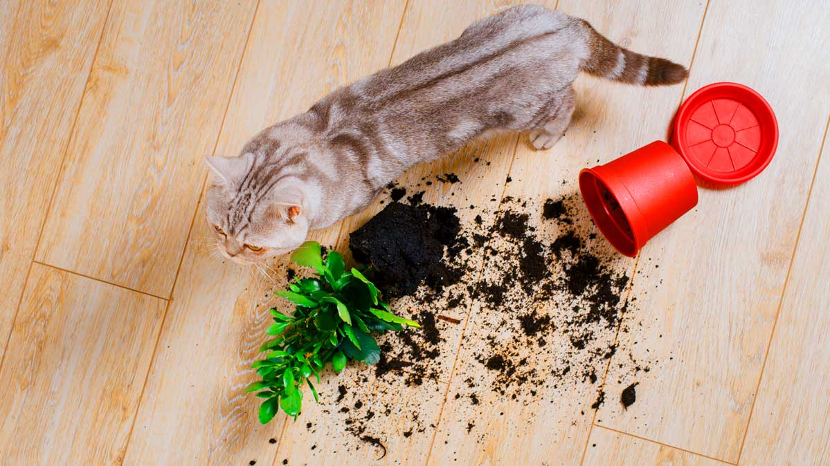 A cat knocks potted plant onto hardwood floors.