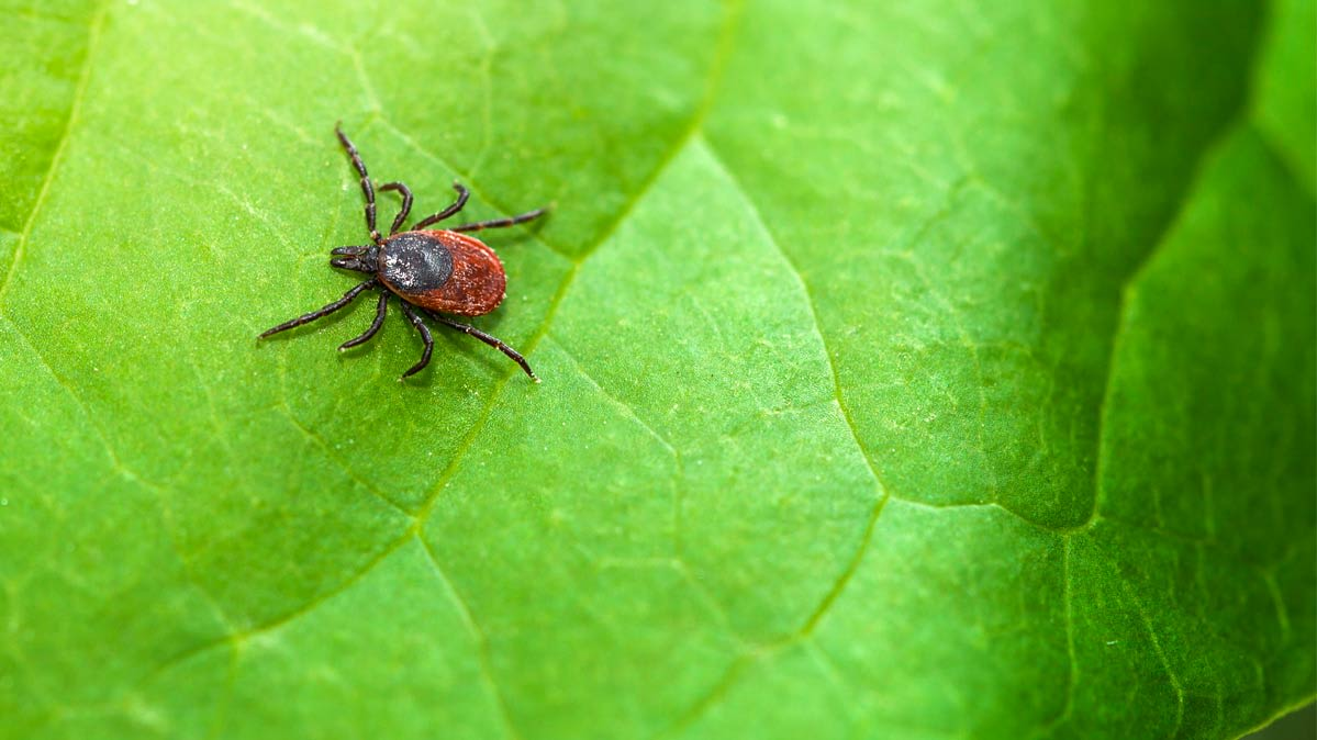 A photograph of a tick on a leaf.