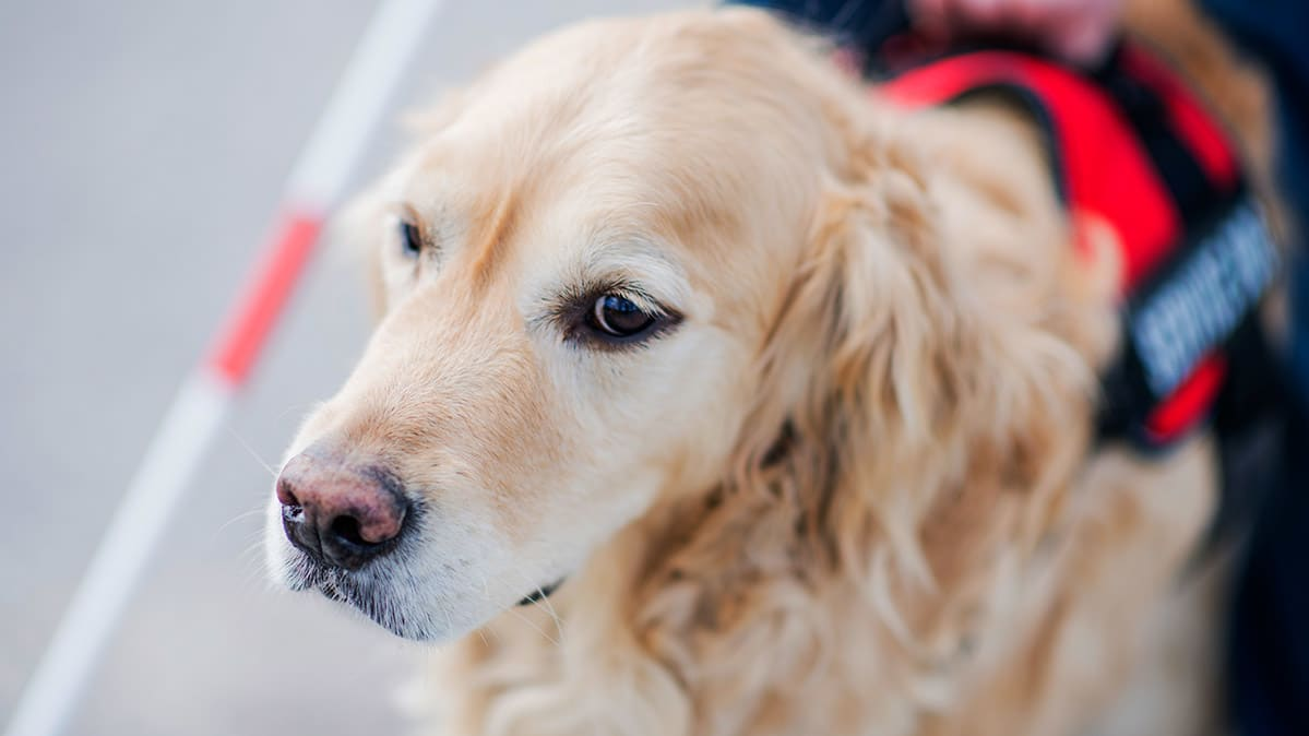 Image of a service dog