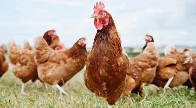 An image of chickens in a grassy field.