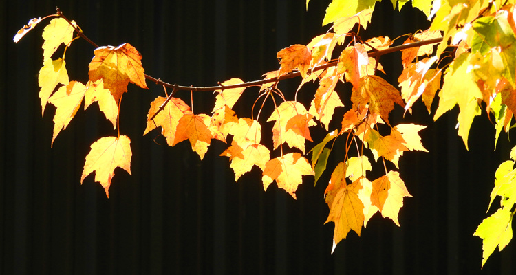 This a photo of yellow leaves and a dark green wall