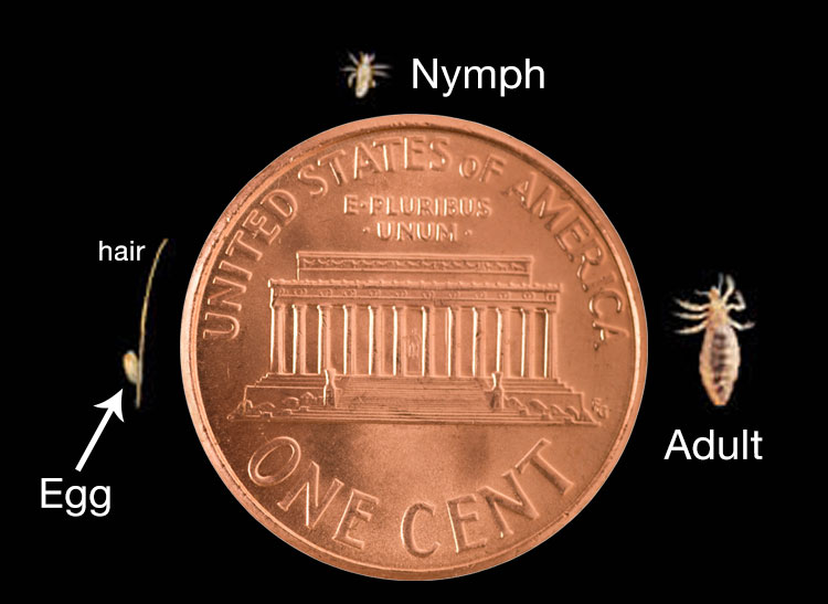 Head lice size shown against a penny.