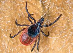 How To Remove A Tick From Your Dog - Consumer Reports