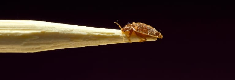 How to identify a bed bug, shown here.