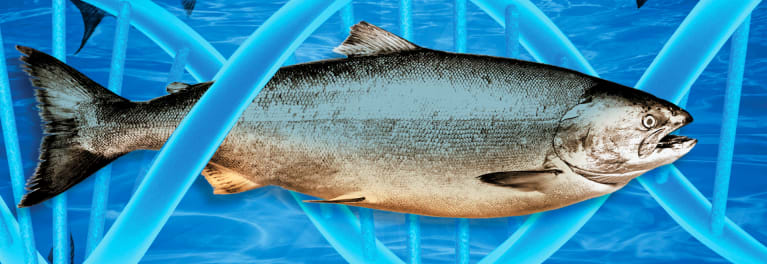 Illustrationa and photo mashup of a fish for article on GMO labeling and AquAdvantage Salmon, among other topics.