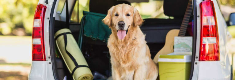 Photo of a golden retriever sitting in front of a car being packed for a camping trip.