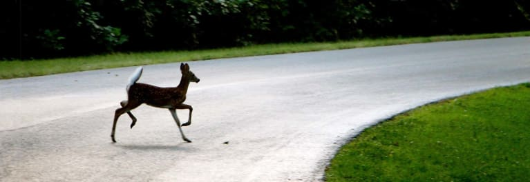 A deer in the road.