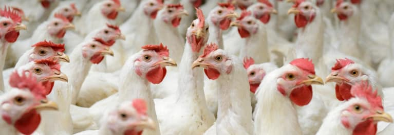 Chicken raised without medically important antibiotics
