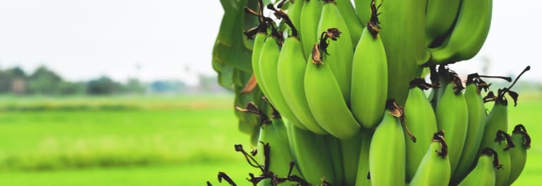 Green bananas are a good source of resistant starch.